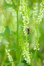 Bee on flowers melilotus albus Stock Photography