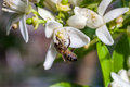 Bee on a flowers of a tangerine tree Royalty Free Stock Photo