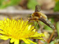 Bee fly on a dandelion closeup of feeding the pollen of Stock Images
