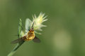 Bee Fly On Grass