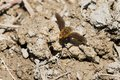 Bee Fly Species Royalty Free Stock Photo