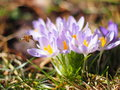 Bee flying by at crocuses flowering in early spring, macro image Royalty Free Stock Photo