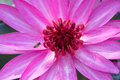 Bee flying over a waterlily little flower wide open Stock Photos