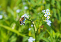 Bee on forget me not flower feeding blue blossoms of Royalty Free Stock Photography