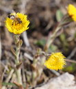 Bee gathering honey from yellow flower Royalty Free Stock Photos