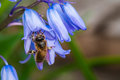Bee Gathering Nectar from Bluebells Royalty Free Stock Photo