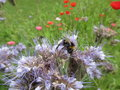 Bee grazing on a thistle Royalty Free Stock Photo