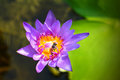 Bee habit with naural purple lotus on carpel of flower plant Royalty Free Stock Photos