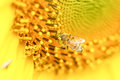Bee happy in sunflower of thailand Royalty Free Stock Photo