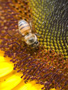 Bee Harvesting Pollen Stock Photos