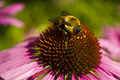 Bee head on Echinacea flower close cup Royalty Free Stock Photo