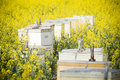 Bee Hives in Canola Royalty Free Stock Photo