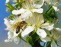 Bee or honeybee on white plum tree flower Royalty Free Stock Photo