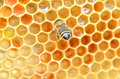 Bee on honeycomb close up of a eating honey Stock Images