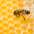 Bee in honeycomb macro shot Royalty Free Stock Photo