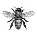 Bee illustration, engraving, drawing, ink