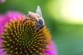 Bee Inflight Royalty Free Stock Photo