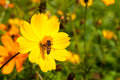 Bee insect on beautiful flower in field macro drinking nectar from the yellow perfect sunlight Royalty Free Stock Photos