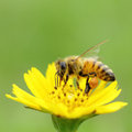 Bee insect macro fly to the outdoor in the nature Stock Photography