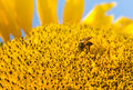 Bee keeper working on sunflower Stock Photography