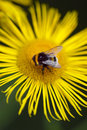 Bee landing on a yellow daisy Stock Image