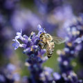 Bee and lavandula flower diligent pollinate a of the Royalty Free Stock Photography