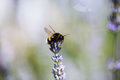 Bee On Lavendel, Hones, Insect...