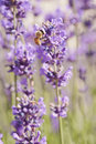 Bee and Lavender Royalty Free Stock Photo