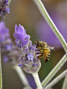 Bee Lavender Royalty Free Stock Images