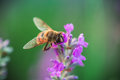 Bee on lavender flower in the field Royalty Free Stock Photo