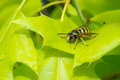 Bee on a  leaf oak Royalty Free Stock Photo
