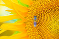 Bee looking nectar full blooming sunflower Stock Image