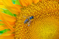 Bee looking some nectar full blooming sunflower Stock Photo