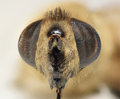 Bee macro head shot at magnification Stock Image