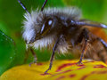 Bee macro Royalty Free Stock Photo
