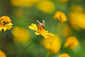 A bee on marigold flower Stock Images