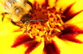 Bee on marigold flower