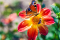 Bee n butterfly collects nectar at beautiful flower dahlias. Abstract background. Space in background for copy, text, your words. Royalty Free Stock Photo