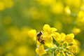 Bee and oilseeds flower Stock Images