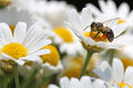 Bee on oxeye daisy close up shot of a honey daisies Stock Photo