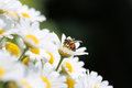 Bee on oxeye daisy close up shot of a honey daisies Stock Image