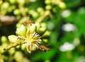 Bee and palm flowers group of small black yellow collect honey from white cute flower on a bright sunny day outdoor in nature with Royalty Free Stock Images