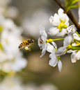 Bee & Pear blossom Royalty Free Stock Images