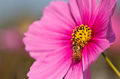 Bee on pink cosmos vivid flower macro photography in garden Royalty Free Stock Photo