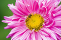 Bee on a pink flower Royalty Free Stock Photo