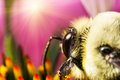 Bee on pink flower extreme macro big collecting pollen ping Royalty Free Stock Photos
