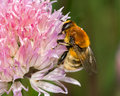 Bee on pink flower a honey feeding a covered in yellow pollen Royalty Free Stock Photos
