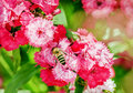 Bee on pink flowers Royalty Free Stock Photo