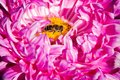 Bee on a pink Peony. Macro photography of flowers and insects. The flowers in the garden. Royalty Free Stock Photo