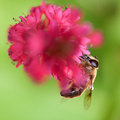 Bee on pink persicaria Royalty Free Stock Photography